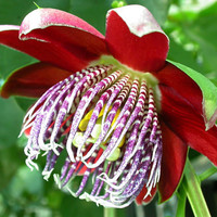 Passiflora ambigua, Granadilla de Monte, giant blooms, luscious fruit, 10 rare seeds, zones 9 to 11 or greenhouse, fresh seeds from Ecuador