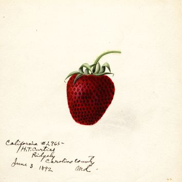 Strawberries, California (1892)