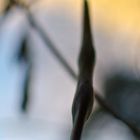 Wisteria Pods in Winter #2, 8x12 Photograph, Nature Photography, Fine Art Photo, Abstract Photo, Wall Decor, Home Decor