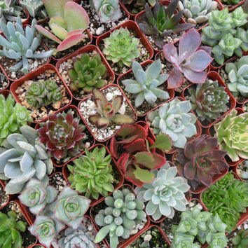 A Riot Of 12 Rooted Succulent Plants, A Nice Variety, Great Deal, Wedding Favors, Make a Living Wall, Succulent Terrarium