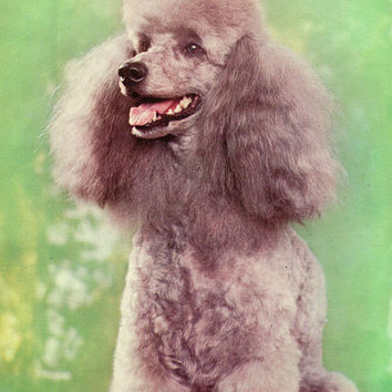 Vintage «Poodle» Photo Postcard «Dog Breed» Series - Printed in the Ukrainian SSR, «Advertising», Kiev, 1990
