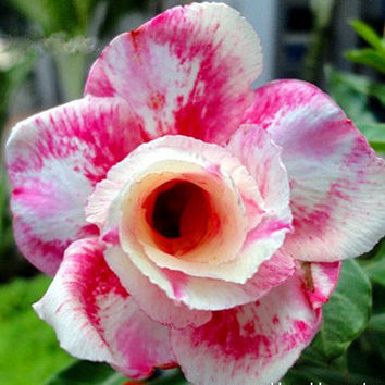 5 Pink Panther Adenium Obesum Flower Rose Seeds Bonsai Desert Plant 100% Genuine Heirloom Penerials Home Gardening Unique Rare Exotic