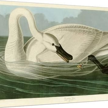 Trumpeter Swan Giclee Print by John James Audubon at Art.com