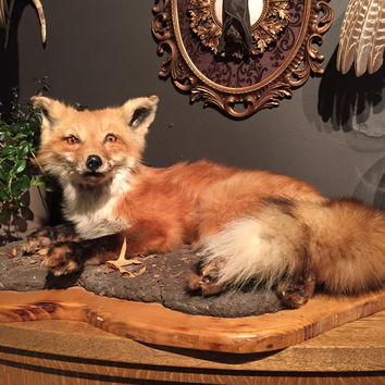 Taxidermy Red Fox