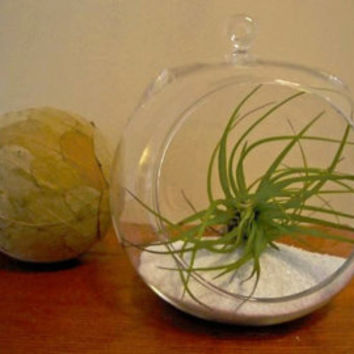 Air plant in Glass Globe with White Sand