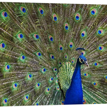 Indian Peafowl Male with Tail Fanned Out