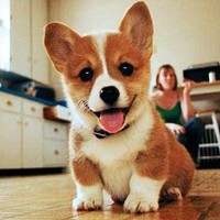 Happy Corgi Puppy.