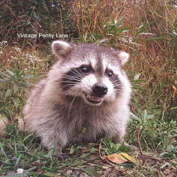 Nature Photography Smiling Raccoon, Instant Download