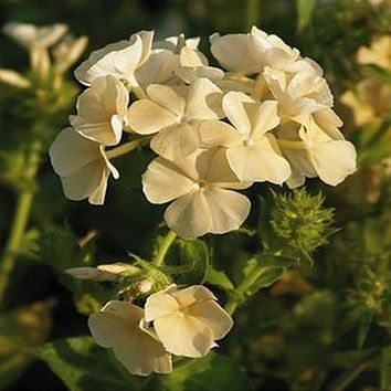 Yellow Phlox Flower Seeds (Phlox Drummondii) 100+Seeds