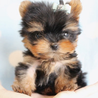 Micro Teacup Yorkies For Sale by TeaCups Puppies