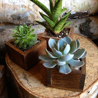 Succulent & Planter in a tiny wooden box for Home Decor or Wedding Favor. (Stained) Sold individually and can be made to order
