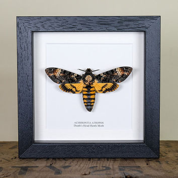 Deaths Head Moth in Black or White Box Frame (Acherontia atropos) Real Butterfly Frame