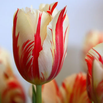 100 Tulip Flower Seeds | Tulipa Gesneriana | Potted Plants, Planting Seasons, Flowering Plants, Beautiful Heirloom Organic Home Garden Decor