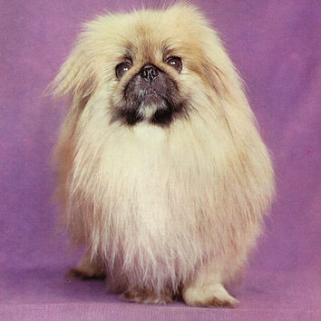 Vintage «Pekingese» Photo Postcard «Dog Breed» Series - Printed in the Ukrainian SSR, «Advertising», Kiev, 1990