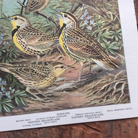 Vintage 1960s Meadowlarks, Blackbirds, and Allies Bird Print: Bird Portraits In Color, Walter Alois Weber, Frameable Print, Art Print