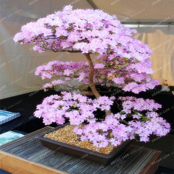 Bonsai Tree Japanese Sakura Seeds Rare Japanese Cherry Blossoms Flowers Seeds in Bonsai DIY Home Garden Mini Bonsai 10PCS