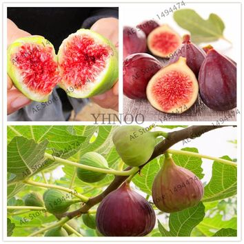 Bonsai Fig Tree Seeds 20 PCS Courtyard Ornamental Plant Evergreen Natural Growth DIY Home Garden Planting