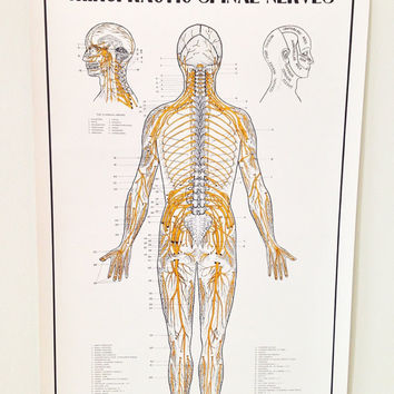 Chiropractic Spinal Nerves Pull Down Chart / Anatomy Medical Art Poster / School Chart Pull Down Human Body Map