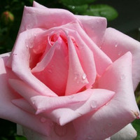 Heirloom 100 SEEDS Pink Roses Rose Gentleness Admiration Flower Bulk Perennials B3003