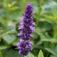 Giant Hyssop Lavender Blue Flower Seeds (Agastache Mexicana) 50+Seeds