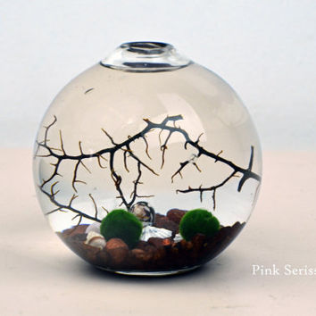 Marimo - Japanese Moss Ball aquarium - in teardrop vase - with sea fan - shells - and brown pebbles