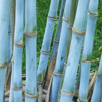 30 Blue Bamboo Tree Fresh Seeds | Rare Textilis Weavers Bambusa | Bonsai Home Garden Decor Plants Growing Heirloom Seeds Outdoors