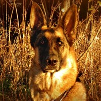 Fine Art Photography german shepherd dog,black,tan,copper,gift idea