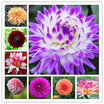 Free Shipping 100pcs Multi-Colored Dahlia Seeds bonsai flower plant seeds for home & garden,#U4R4DS