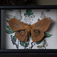 Asian Silk Moth - Shadow Frame Mirror Display - Insect Bug Museum Glass Nature Home Decor