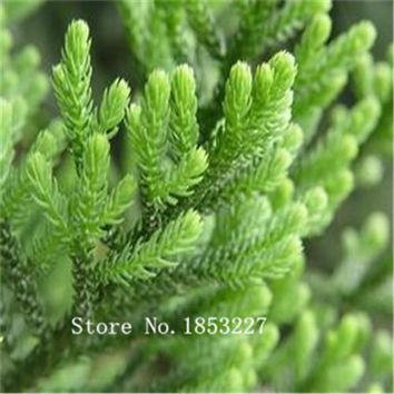 GGG Bonsai Araucaria Seeds 100pcs 10kinds mix Flower Seeds Novel Plant for Garden Free Shipping