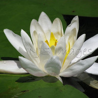 Water Lily - 11x14 Print - Photography