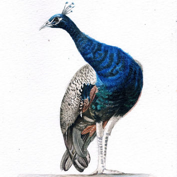 Indian Blue Peacock Watercolor Painting