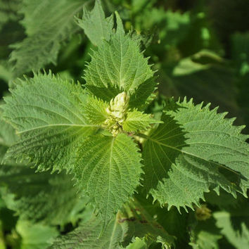 40 seeds of green or red Perilla - Pérille Nanjing, shiso, wild sesame, Japanese tiso, sacred plant calming and relaxing!