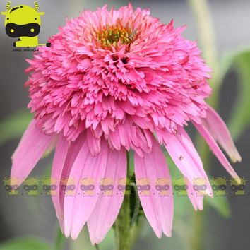 Different Colors Coneflower Flower Echinacea Seed(For your choice), 50 Seeds/Pack, Perennial Ornamental Plants DIY Home Garden
