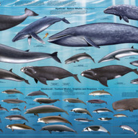 Whales Educational Poster Print at AllPosters.com