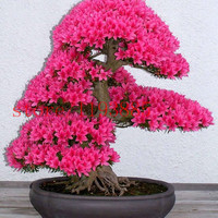6 colors japanese sakura seeds new seeds Cherry Blossoms Seeds Japanese Cherry Cerasus Yedoensis Biji, Bonsai Flower Seeds