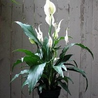 "Hirt's Peace Lily Plant - Spathyphyllium - Great House Plant - 4"" Pot"