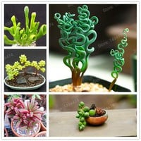 Mixed color succulent plant seeds meaty plant Flower seeds home decoration bonsai plant seeds 200pcs for home garden