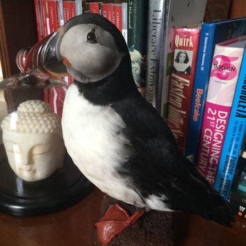 fantastic taxidermy water Bird black white duck puffin