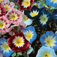 Convolvulus Enchantment Mix, Flower, 25 Seeds, Garden
