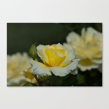 White Licorice Rose Canvas Print by Glenn Franco Simmons