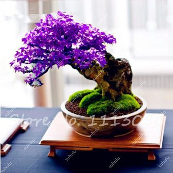 30 Pcs Japanese Maple Tree, (Acer Palatum) Purple blue Ghost Maple Bonsai Flower Seeds Tree Seeds Potted Plant for Home Garden