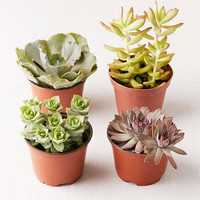 "Assorted 4"" Live Succulents - Set of 4 
