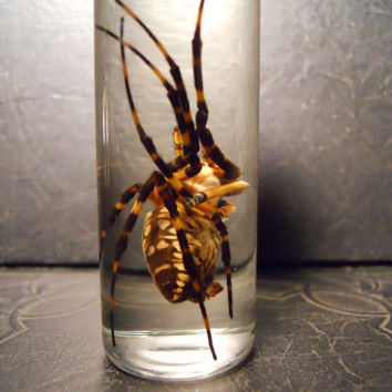 Arachnophobia Huge Yellow Garden Spider in a Jar by TheCuriositeer