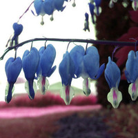 5 Bleeding Heart Flower Seeds Blue Unique Heart Shaped Flowers Heirloom New Home Garden Plant Genuine Dicentra Eximia Fringed