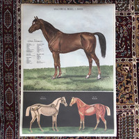 Anatomical Model of the Horse Print