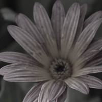 Almost Black And White Pale Pink African Daisy Photograph by Colleen Cornelius
