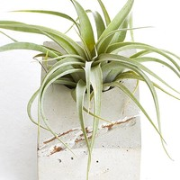 """LIVE Air Plant with Gold Concrete Block - 5"""" Long - Ships Alone"""