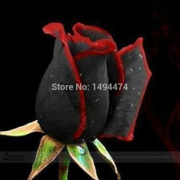1 Professional Pack, approx 100 Seeds / Pack, Rare Amazingly Beautiful Black Rose Flower with Red Edge Seedling Seed #A00225