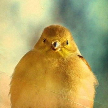 Finch Bird Photography GoldYellowGifts under by VanillaExtinction